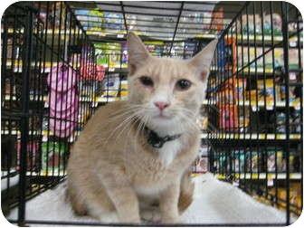 Domestic Shorthair Cat for adoption in Pinehurst, North Carolina - Mason aka Cheddar