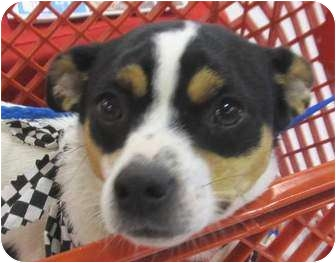 Rat Terrier/Terrier (Unknown Type, Small) Mix Dog for adoption in Muskogee, Oklahoma - Jack