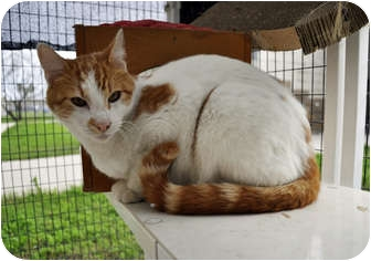Domestic Shorthair Cat for adoption in Corpus Christi, Texas - Gino