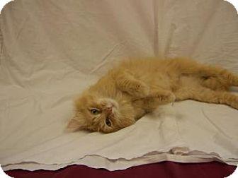 Domestic Longhair Cat for adoption in Larned, Kansas - Serenity