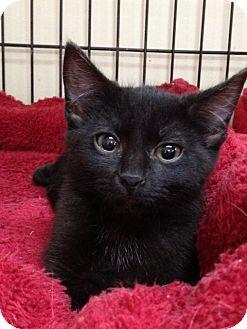 Domestic Shorthair Cat for adoption in Monroe, Georgia - Sissy