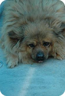 Chow Chow/Pomeranian Mix Dog for adoption in Crump, Tennessee - Ms B