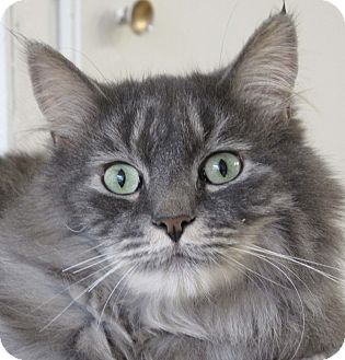 Domestic Mediumhair Cat for adoption in Calgary, Alberta - Portia