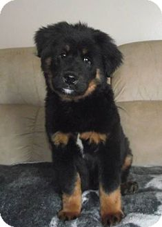 Bernese Mountain Dog/Chow Chow Mix Puppy for adoption in Marysville, Ohio - Oso
