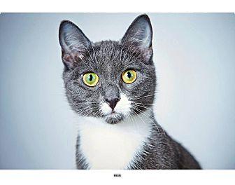 Domestic Shorthair Kitten for adoption in New York, New York - Bebe