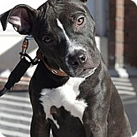 Adopt A Pet :: Bella - Reisterstown, MD