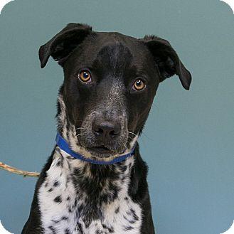 Blue Heeler/Border Collie Mix Dog for adoption in Staunton, Virginia - Gabe