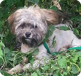 Shih Tzu Dog for adoption in Harrisonburg, Virginia - Buddy