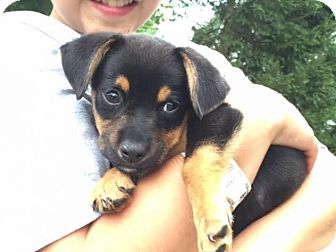 Boxer Mix Puppy for adoption in Freeport, New York - Bambino