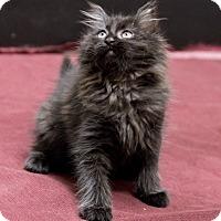 Adopt A Pet :: Hocus - Chicago, IL