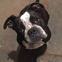 Adopt A Pet :: Brandy - Long Beach, CA