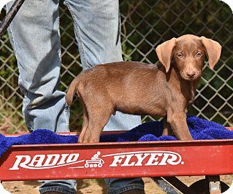 Weimaraner Mix Puppy for adoption in Groton, Massachusetts - Jakob