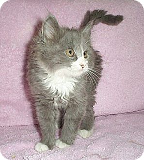 Domestic Mediumhair Kitten for adoption in Fayetteville, Georgia - Asia