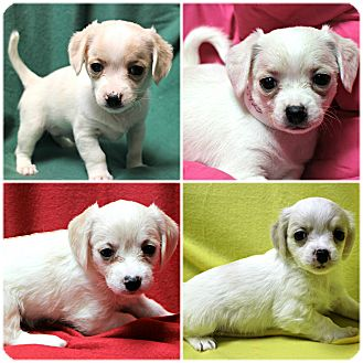Rat Terrier/Shih Tzu Mix Puppy for adoption in Forked River, New Jersey - Puppies!