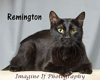 Domestic Shorthair Cat for adoption in Oklahoma City, Oklahoma - Remington (Remy)