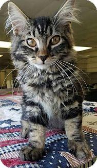 Domestic Longhair Kitten for adoption in Havelock, North Carolina - Monte