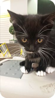 Domestic Shorthair Kitten for adoption in Mesa, Arizona - Taylor