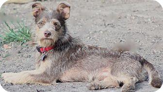 Schnauzer (Miniature) Mix Dog for adoption in Woonsocket, Rhode Island - Mason - MEET ME