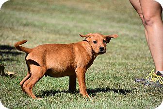 Labrador Retriever/Golden Retriever Mix Puppy for adoption in Groton, Massachusetts - Atticus
