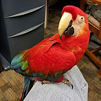 Macaw for adoption in Lenexa, Kansas - Tequila