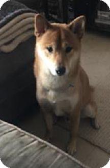 Shiba Inu Dog for adoption in Parsippany, New Jersey - Joker