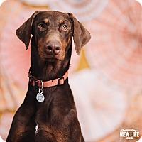 Adopt A Pet :: Autumn - Portland, OR