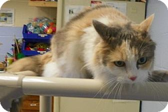 Domestic Longhair Cat for adoption in Lowell, Massachusetts - Kathy