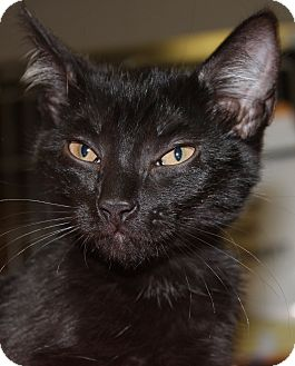 Domestic Shorthair Kitten for adoption in Clayton, New Jersey - CHARLOTTE