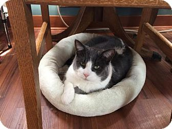 Domestic Shorthair Cat for adoption in Wilmore, Kentucky - Oswald