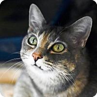 Adopt A Pet :: Darcy - Denver, CO