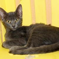 Domestic Shorthair/Domestic Shorthair Mix Cat for adoption in Enterprise, Alabama - Cupcake