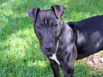 American Pit Bull Terrier Mix Dog for adoption in West Palm Beach, Florida - MOLLY