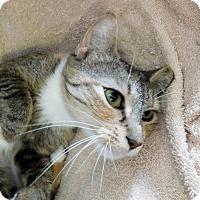 Domestic Shorthair Cat for adoption in Winston-Salem, North Carolina - Tina