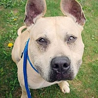 Boxer/Shepherd (Unknown Type) Mix Dog for adoption in Rockaway, New Jersey - Leo