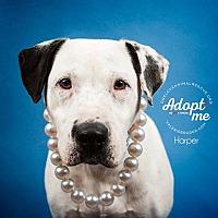 Adopt A Pet :: Harper - Mount Laurel, NJ