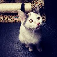 Adopt A Pet :: Bellisima - Trevose, PA