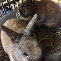 Adopt A Pet :: Findley - Woburn, MA
