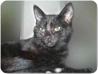 Domestic Shorthair Kitten for adoption in San Clemente, California - BRADY