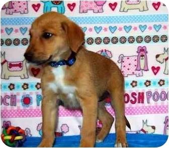 Shepherd (Unknown Type)/Australian Cattle Dog Mix Puppy for adoption in Broomfield, Colorado - Winnie Mae