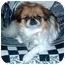 Photo 2 - Pekingese/Japanese Chin Mix Dog for adoption in Mays Landing, New Jersey - Kami