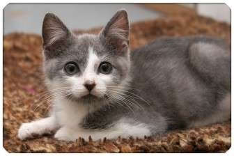 Domestic Shorthair Kitten for adoption in Sterling Heights, Michigan - Gramercy - ADOPTED!