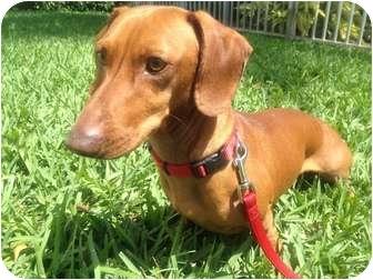 Dachshund Dog for adoption in Miami, Florida - Nacho