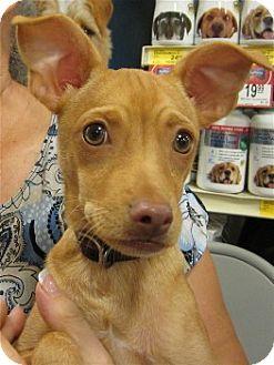 Terrier (Unknown Type, Small) Mix Puppy for adoption in Schertz, Texas - Prixy