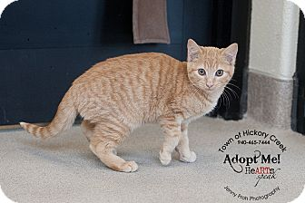 Domestic Shorthair Cat for adoption in Hickory Creek, Texas - Garfield