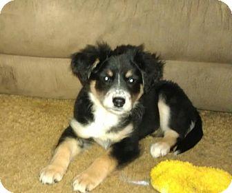 Border Collie/Labrador Retriever Mix Puppy for adoption in Hamburg, Pennsylvania - Raven