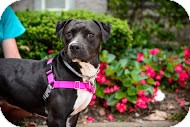 American Pit Bull Terrier Mix Dog for adoption in Oakland Gardens, New York - Roma