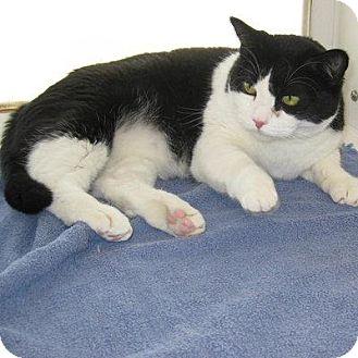 Domestic Shorthair Cat for adoption in Denver, Colorado - Charolette