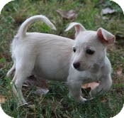 Miniature Schnauzer/Chihuahua Mix Puppy for adoption in Windham, New Hampshire - Lola