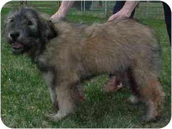 Airedale Terrier/Chow Chow Mix Puppy for adoption in North Judson, Indiana - Fuzzy