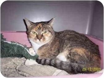 Domestic Shorthair Cat for adoption in Molalla, Oregon - Cali